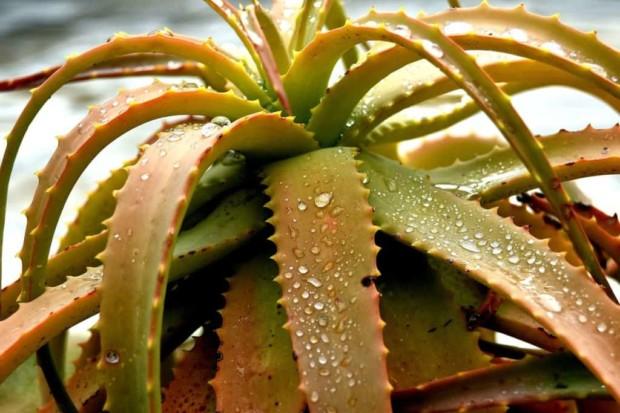 Aloes brązowieje